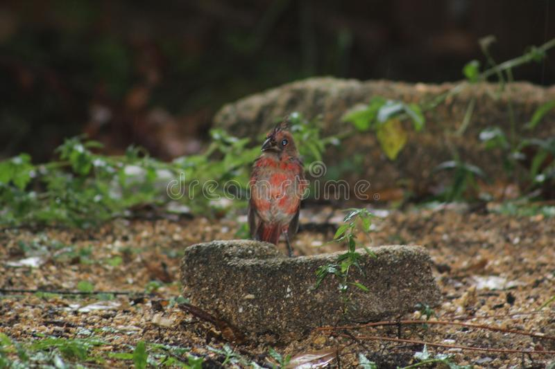 Young Cardinal. A young cardinal watches and waits as its mom collects seeds from the ground. Its adult feathers are still coming but give preview to the stock image