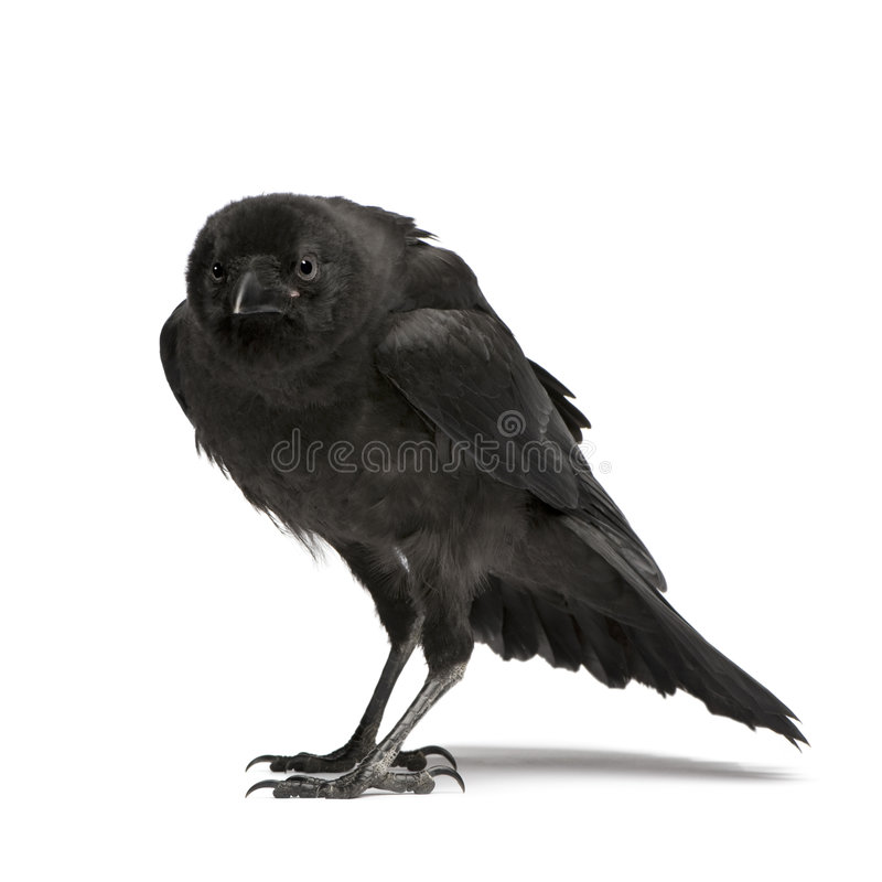 Download Young Carrion Crow - Corvus Corone (3 Months) Stock Photo - Image: 5854124