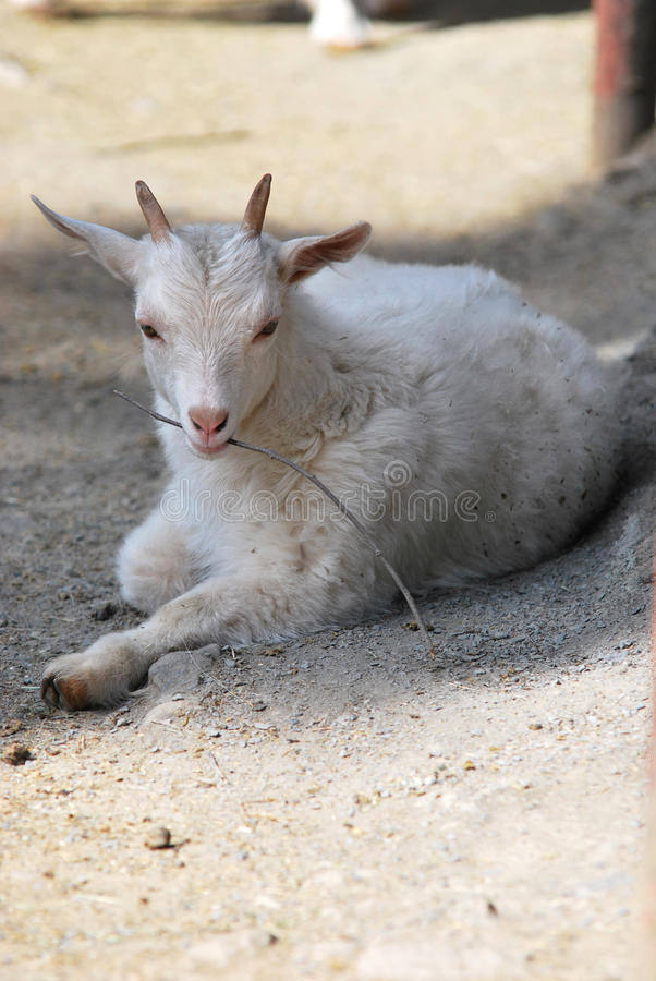 Young cashmere goat royalty free stock photography
