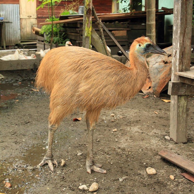 Young cassowary. Brown flightless bird bred on yard with farm animals stock photography
