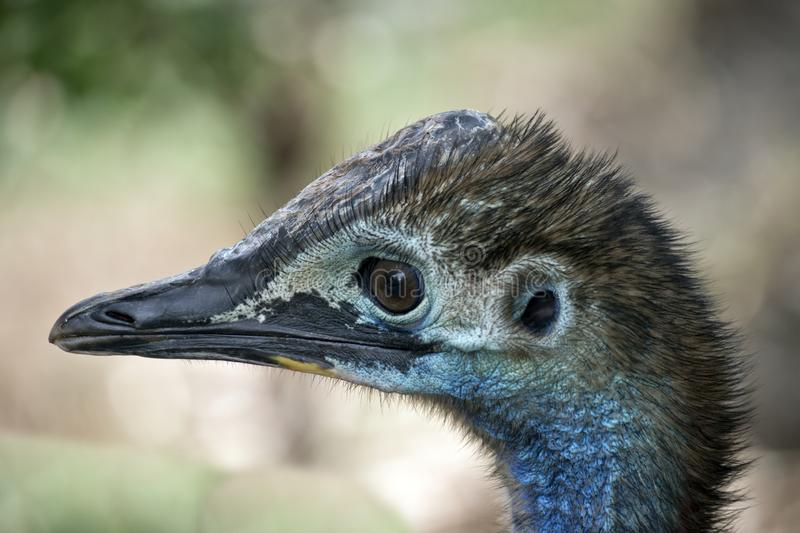 A young cassowary royalty free stock photos