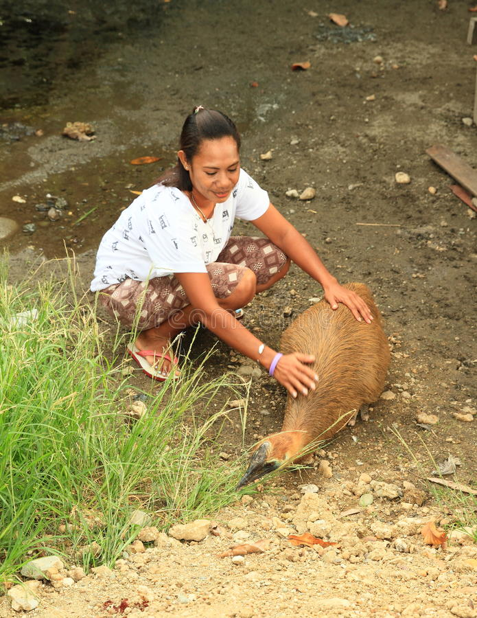 Young cassowary. Petting by Indonesian woman (Nabire, Papua, Indonesia royalty free stock image