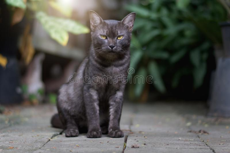 Young cat black Thai sitting. On concrete stock images