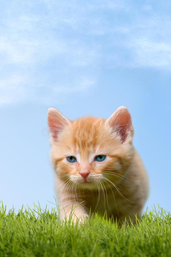 Young cat on green meadow. With blue sky stock photography