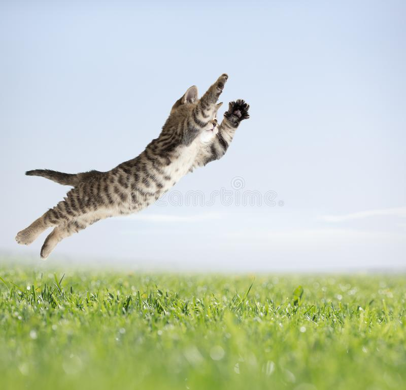 Cat jumping in green grass royalty free stock images