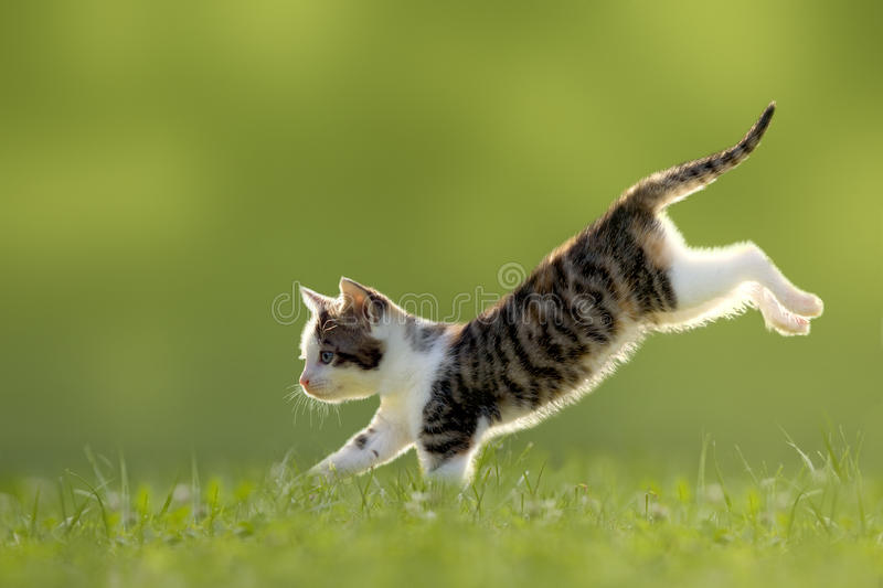 Young cat jumps over a meadow backlit. Young cat jumps over a meadow in the backlit royalty free stock photography