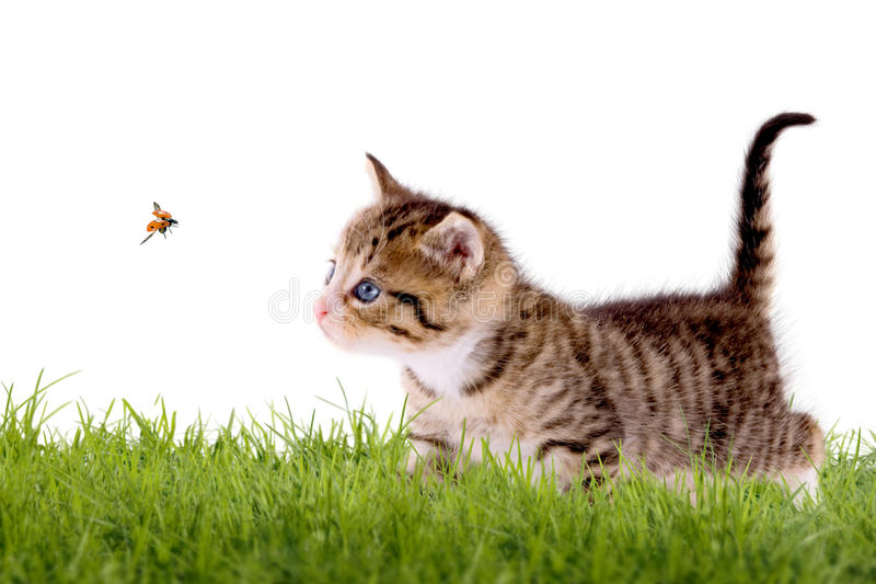 Young cat with ladybug on a green field. Isolated on white background royalty free stock photography
