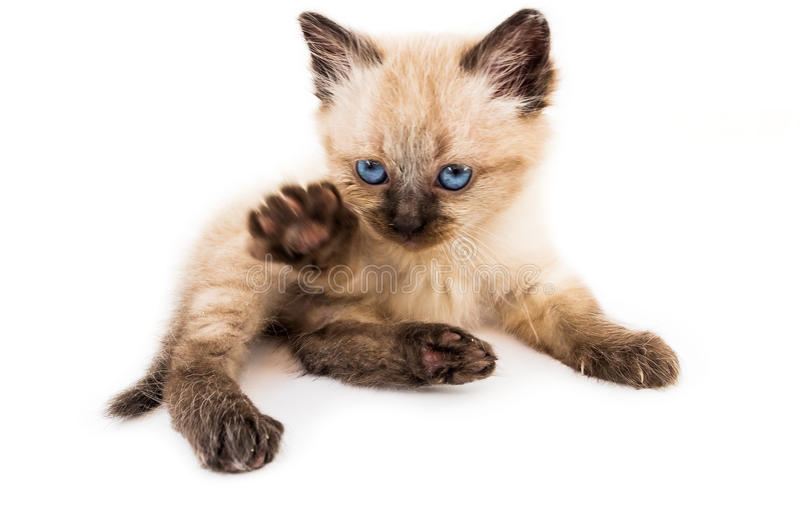 Young cat royalty free stock image