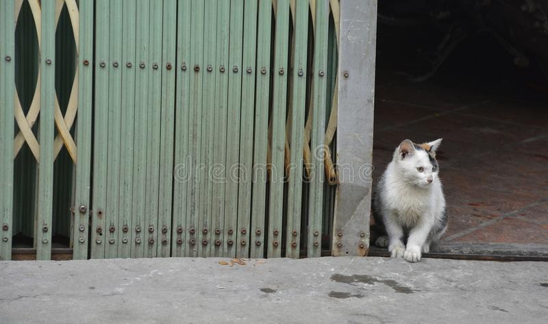 Hanoi Street Cat. A young cat looks out from a shop doorway in old town Hanoi, Vietnam royalty free stock photos