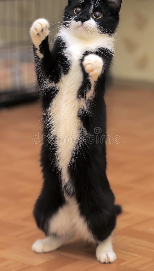 Cat plays, catches a toy by raising its front paws. A young cat plays, catches a toy by raising its front paws royalty free stock image