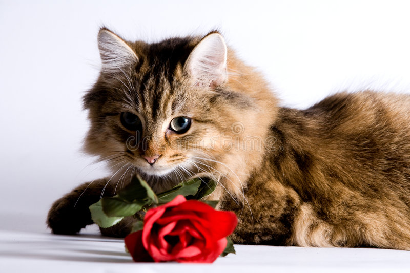 Young cat with a rose stock images