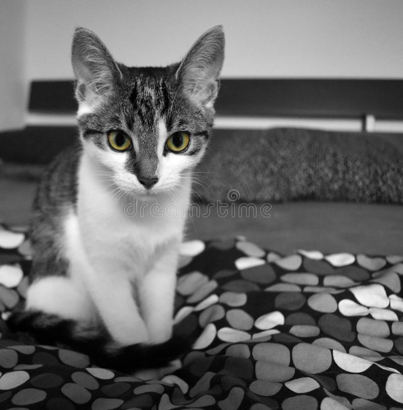 Katze sitzt auf Bett. Young interessted beautiful cat is sitting on a bed while watching whats happening. These eyes are fascinating stock images
