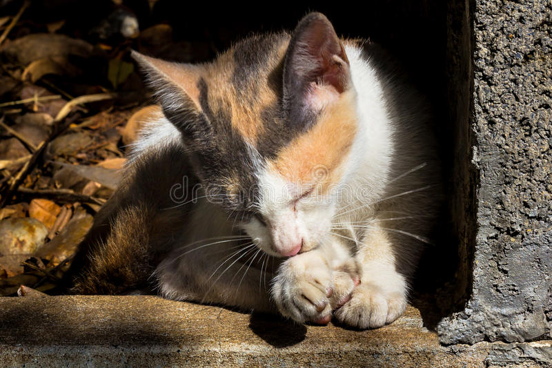 Young cat. Soft focus on young cat cleaning itself by licking foot royalty free stock image