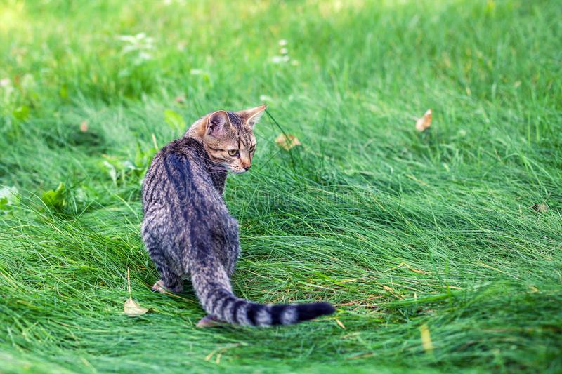 Striped kitten walking in the grass royalty free stock image