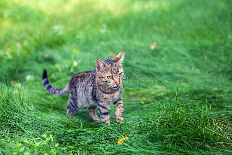 Striped kitten walking in the grass royalty free stock images