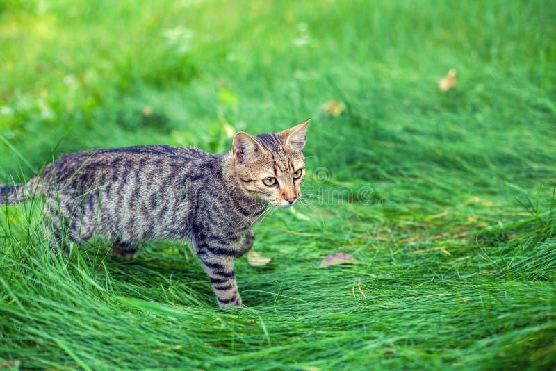 Striped kitten walking in the grass stock photos