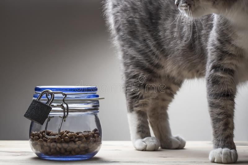 Young cat walks near dry food in a transparent glass jar with a lid, closed on a metal lock from overeating in anticipation of. Feeding. Close-up stock photos
