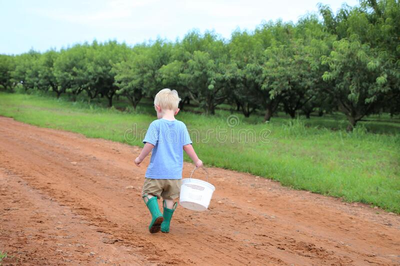 Young caucasian boy collecting berries in a peach orchard walking down a dirt road alongside the peach trees. On a cloudy day stock images