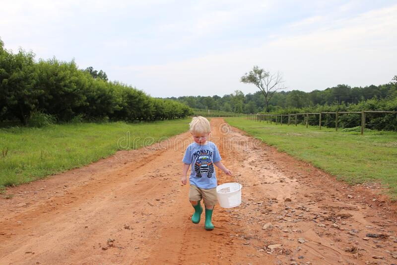 Young caucasian boy collecting berries in a peach orchard walking down a dirt road alongside the peach trees. On a cloudy day royalty free stock images