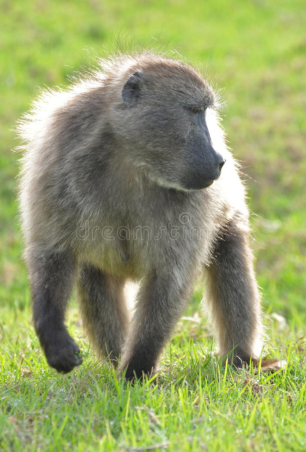 Young chacma baboon royalty free stock image
