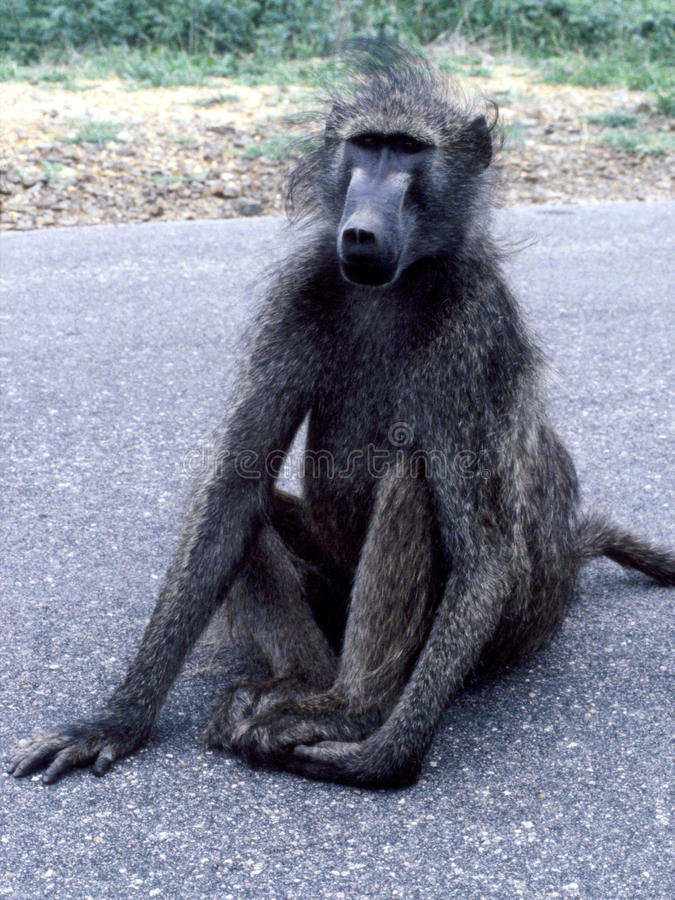 Young Chacma Baboon on Kruger National Park road. The Chacma Baboons, whose coarse body hair range in colur from light grey to dark grey-brown are widely spread royalty free stock photography
