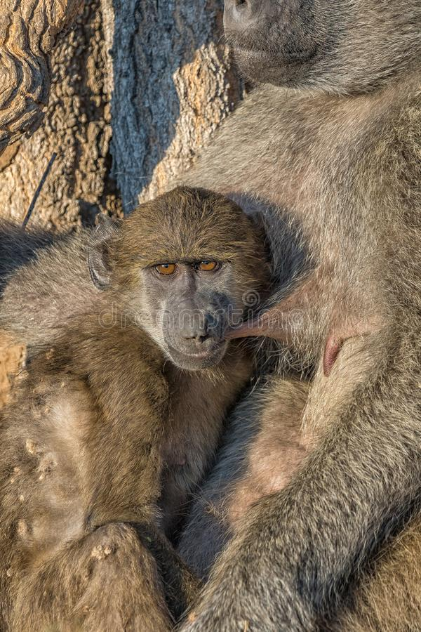 Young chacma baboon suckling on its sleeping mother. A young chacma baboon, Papio ursinus, suckling while its mother is sleeping royalty free stock images