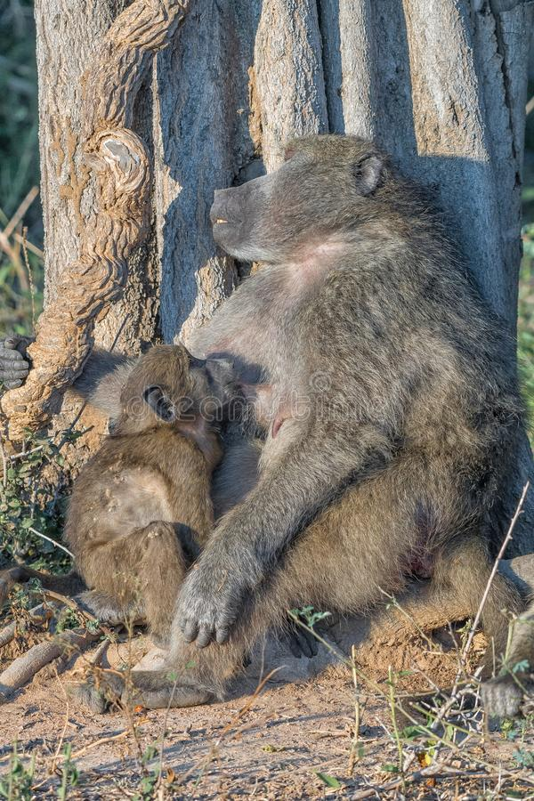 Young chacma baboon suckling on its sleeping mother. A young chacma baboon, Papio ursinus, suckling while its mother is sleeping royalty free stock photo