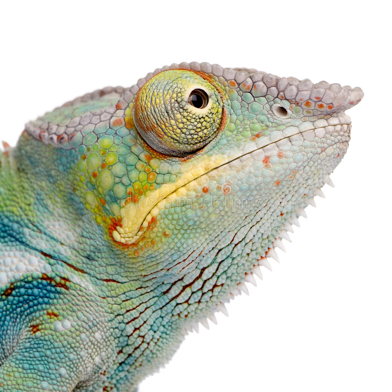 Free Young Chameleon Furcifer Pardalis - Ankify Royalty Free Stock Photography - 5354587