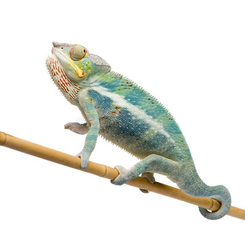 Free Young Chameleon Furcifer Pardalis - Ankify Stock Photo - 5354790