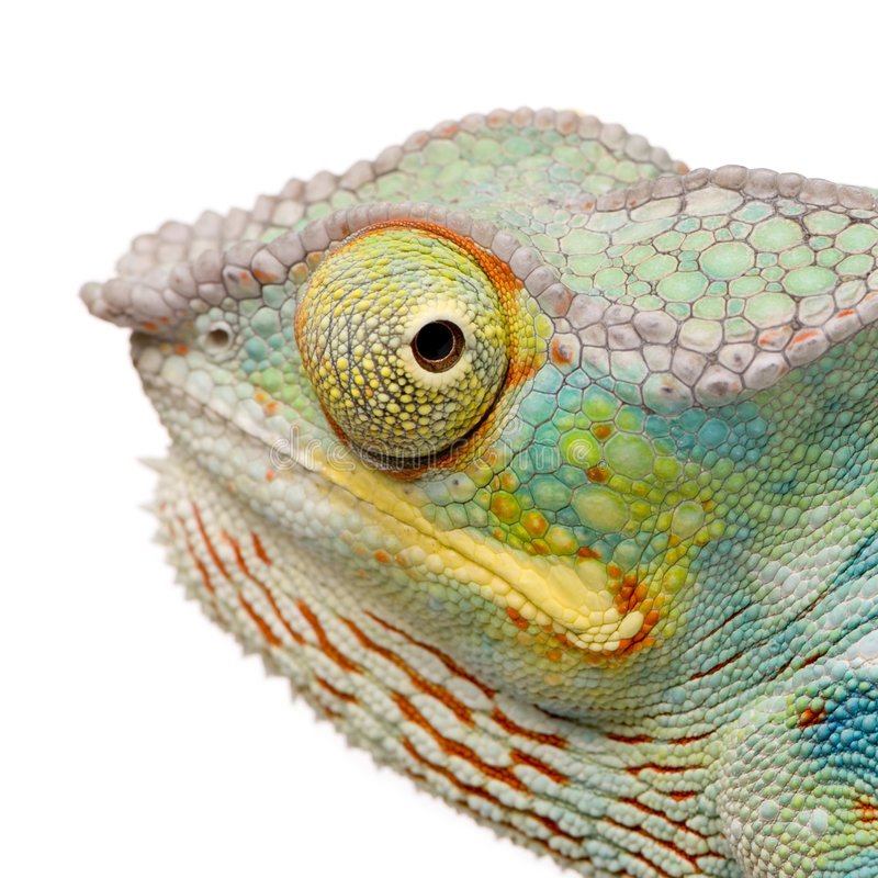Free Young Chameleon Furcifer Pardalis - Ankify Royalty Free Stock Photos - 5354868