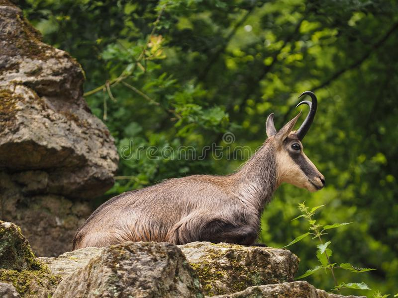 Young chamois on a rock. On a sunny day, wild animal portrait royalty free stock photos