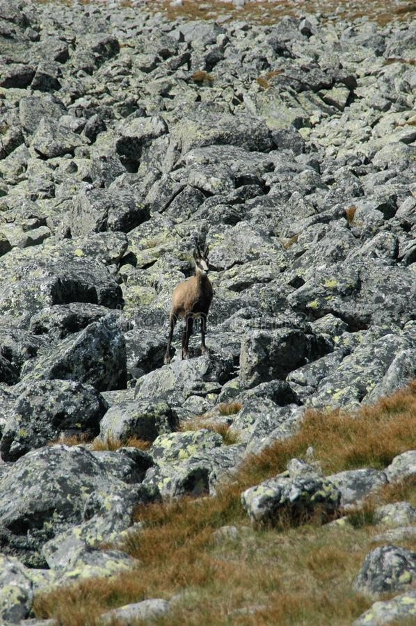Young chamois on a rock. Freedom, beauty, old town, hiking, power of nature, old tree, tourism, nature, season, beautiful, walkway, way, cycling, walking stock image