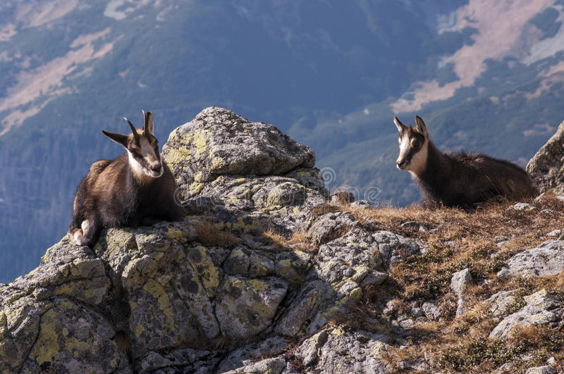 Young chamois on the rocks. Tatry. Poland royalty free stock image