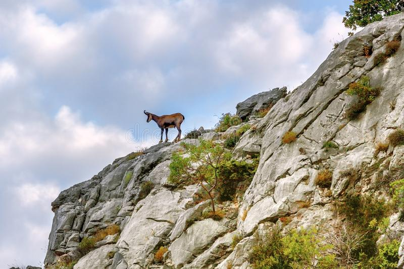 Young chamois on a rocky cliff against the background of cirrus blue clouds. Young chamois on a rocky cliff, fauna Biokovo royalty free stock photography