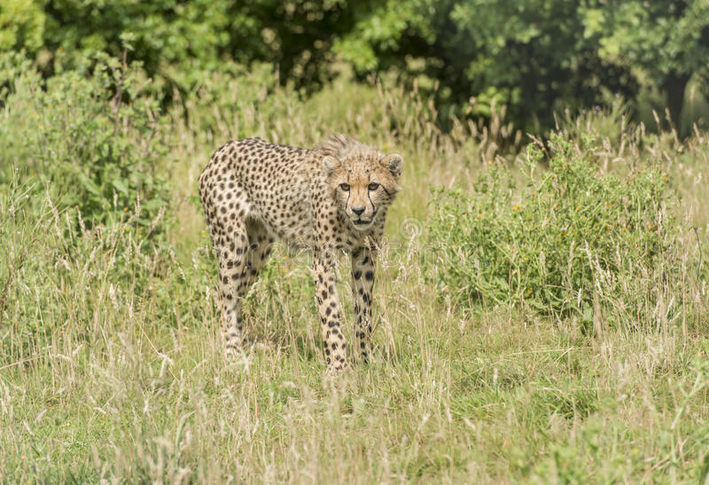 Young cheetah stock photography