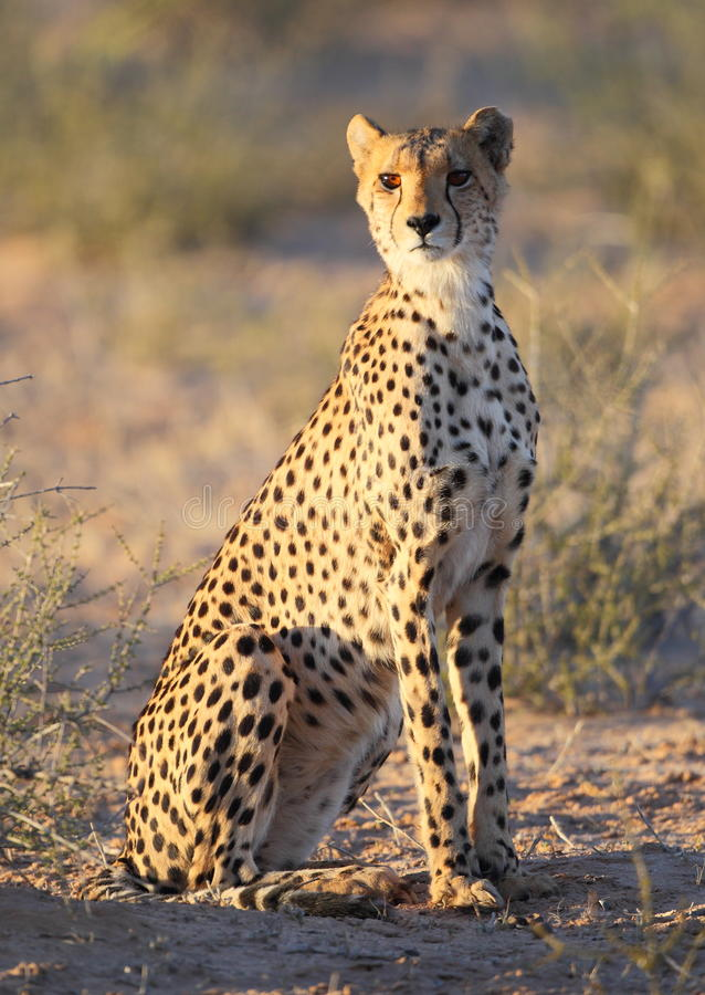 Young Cheetah spotted cat stock photos