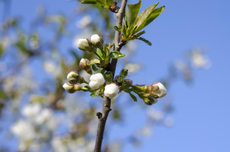 Young cherry blossoms in the spring garden against the blue sky. Closeup flower bloom tree branch natural nature japan springtime white japanese background royalty free stock images
