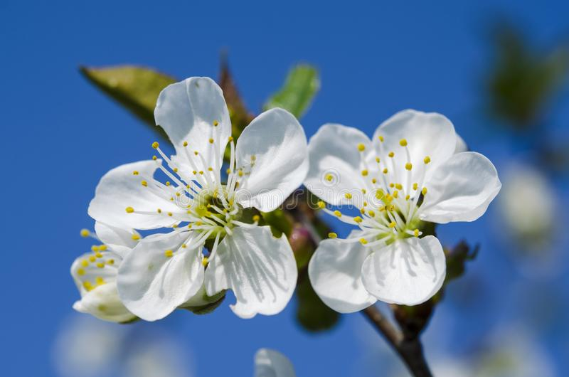 Young cherry blossoms in the spring garden against the blue sky. Closeup flower bloom tree branch natural nature japan springtime white japanese background royalty free stock image