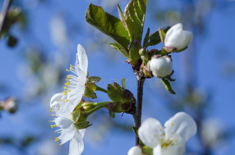 Young cherry blossoms in the spring garden against the blue sky. Closeup flower bloom tree branch natural nature japan springtime white japanese background stock photo