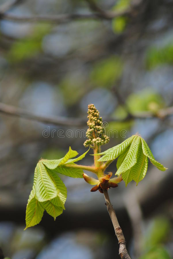 Young chestnut stock photography
