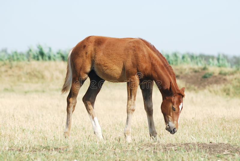 Download Young chestnut foal stock image. Image of calmness, face - 10570911