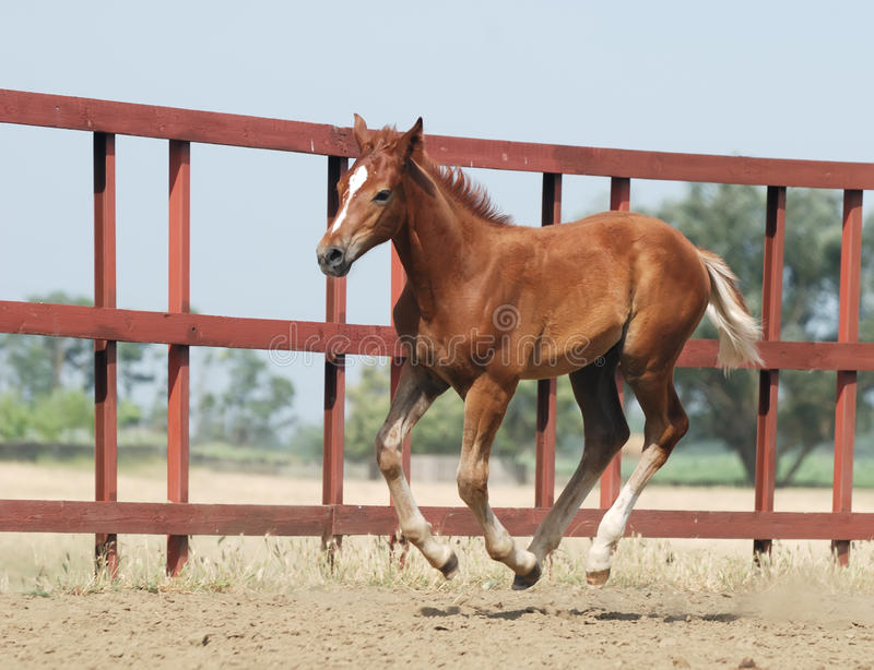 Download Young Chestnut Foal Royalty Free Stock Photo - Image: 10571055