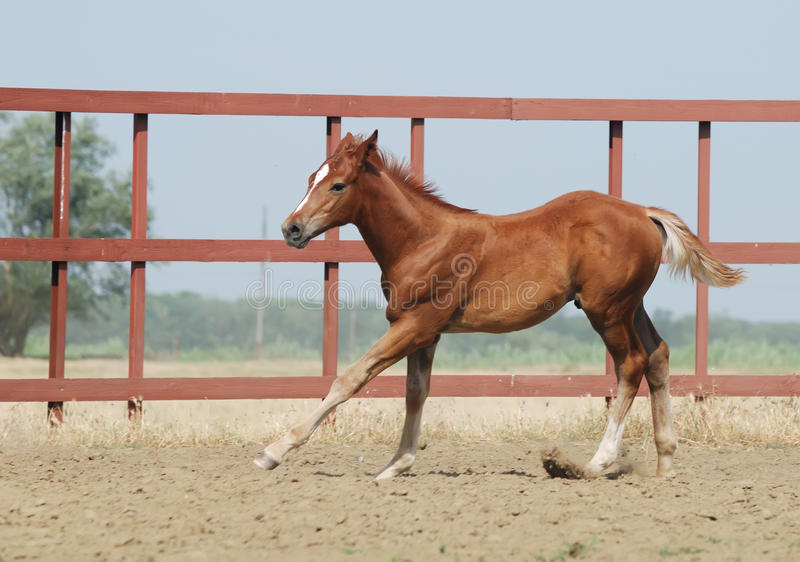 Download Young chestnut foal stock image. Image of dust, equine - 10571067