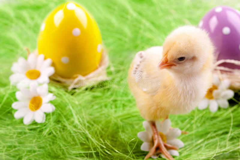 Download Young Chick stock photo. Image of nature, animal, springtime - 12921126