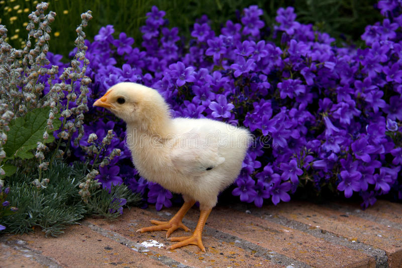 Download Young chick stock image. Image of purple, chicken, yellow - 14852903