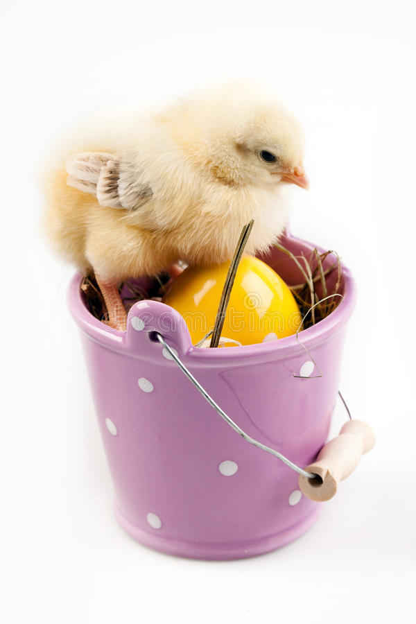 Young Chick in Bucket stock photography