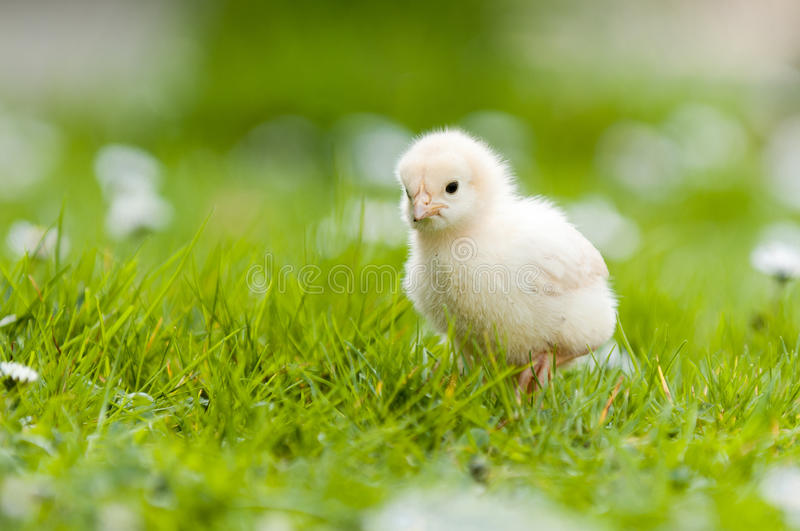 Download Young Chick in the garden stock image. Image of hatched - 23507187