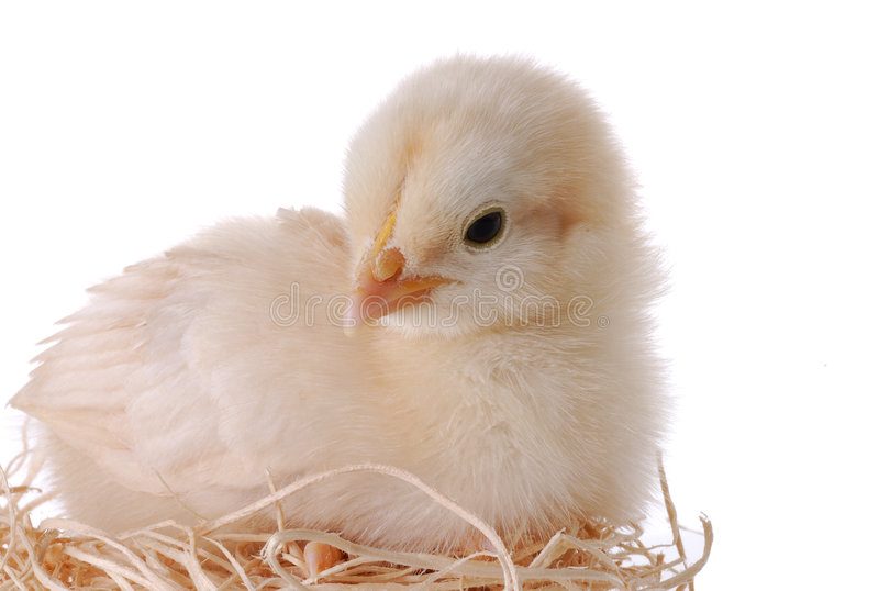 Young Chick in Nest. Young Easter chick sitting in straw nest royalty free stock photography