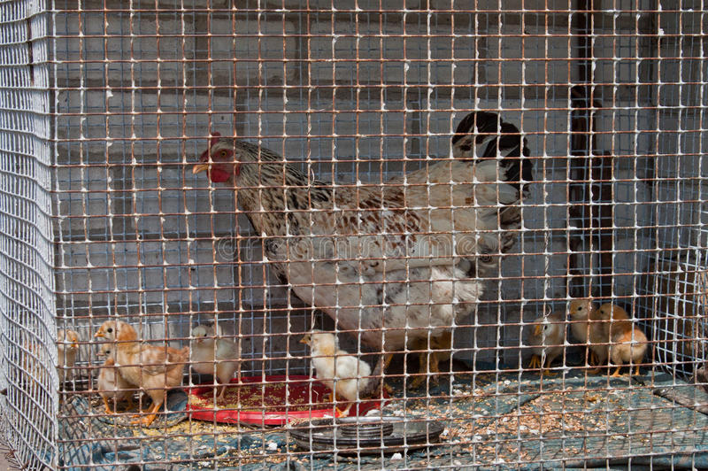 Download Young chicken stock image. Image of group, cockerel, captivity - 25085121
