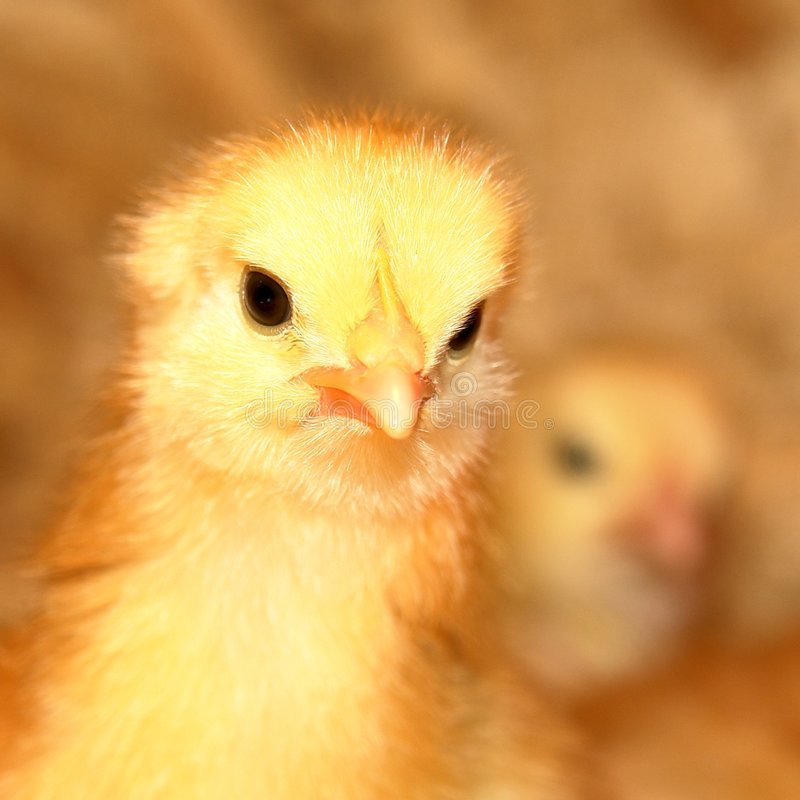 Young Chicken. One week old baby chicken